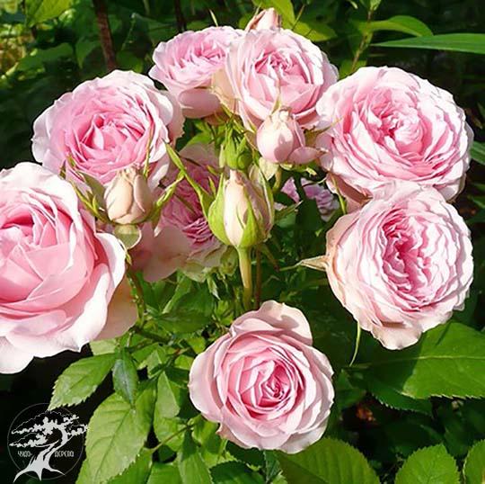 roses mimi eden